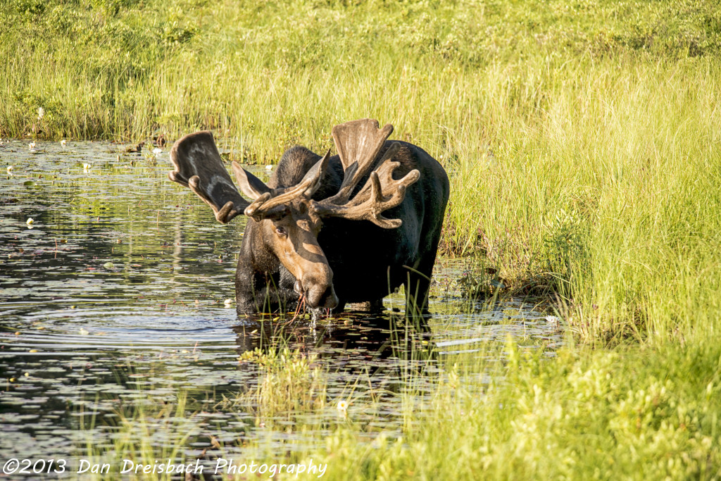 Bull moose at Algonquin